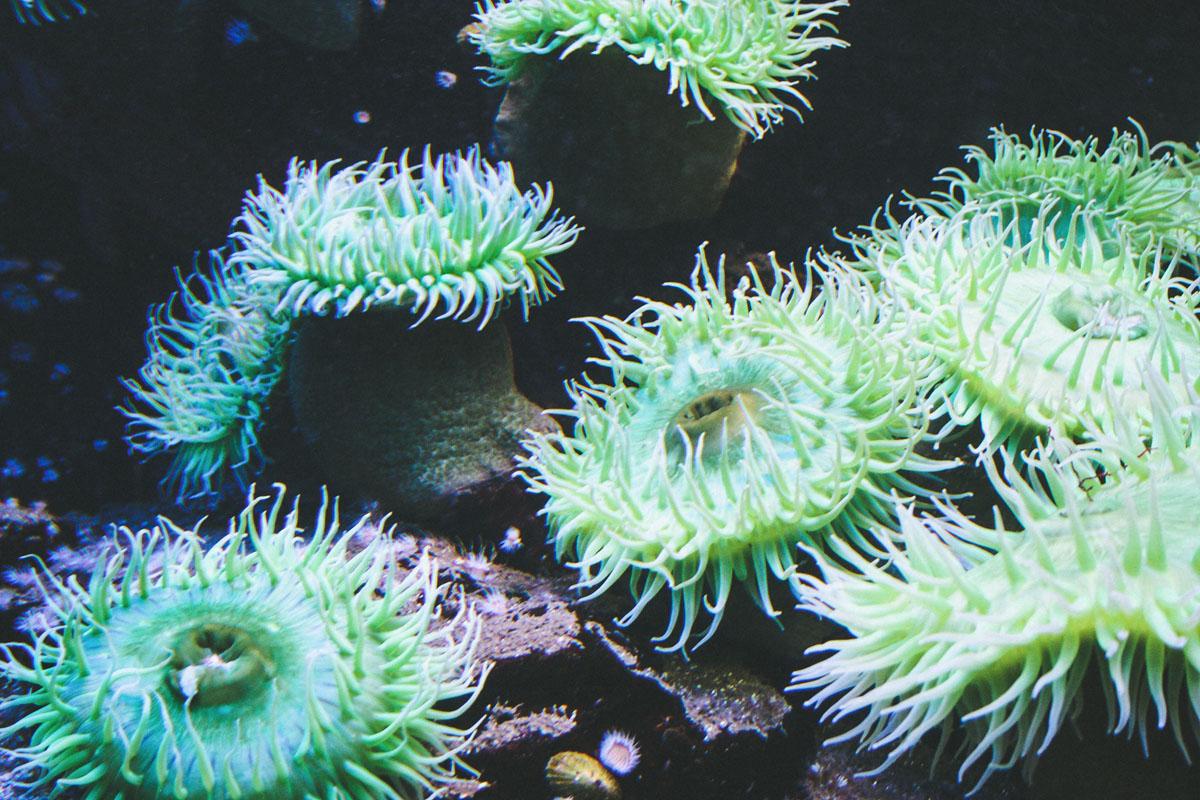 aquarium-st-malo-anemone-verte