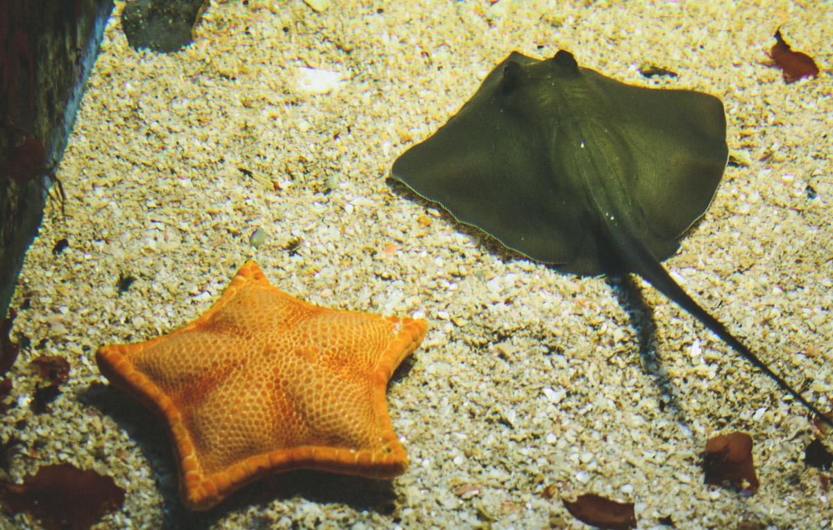 aquarium-st-malo-raie