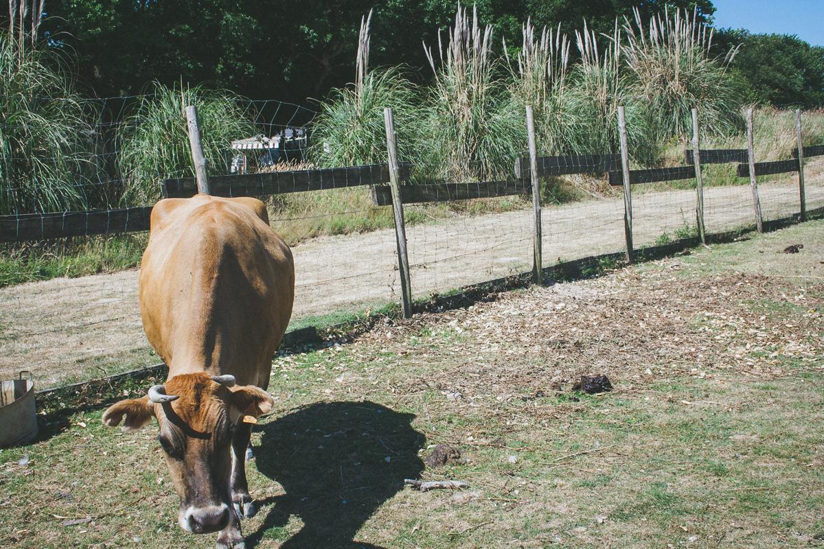 les-brillas-vache
