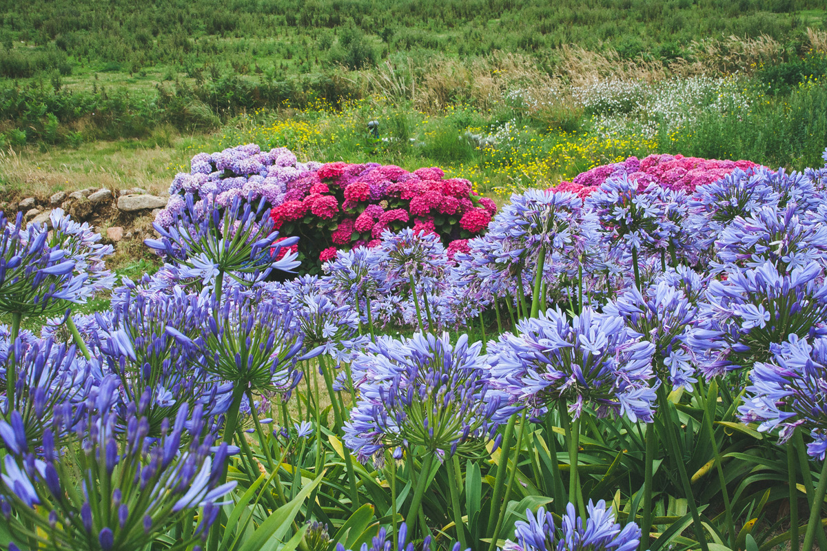 ile-de-brehat-agapanthe-hortensia