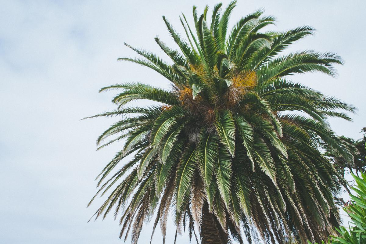 ile-de-brehat-palmier