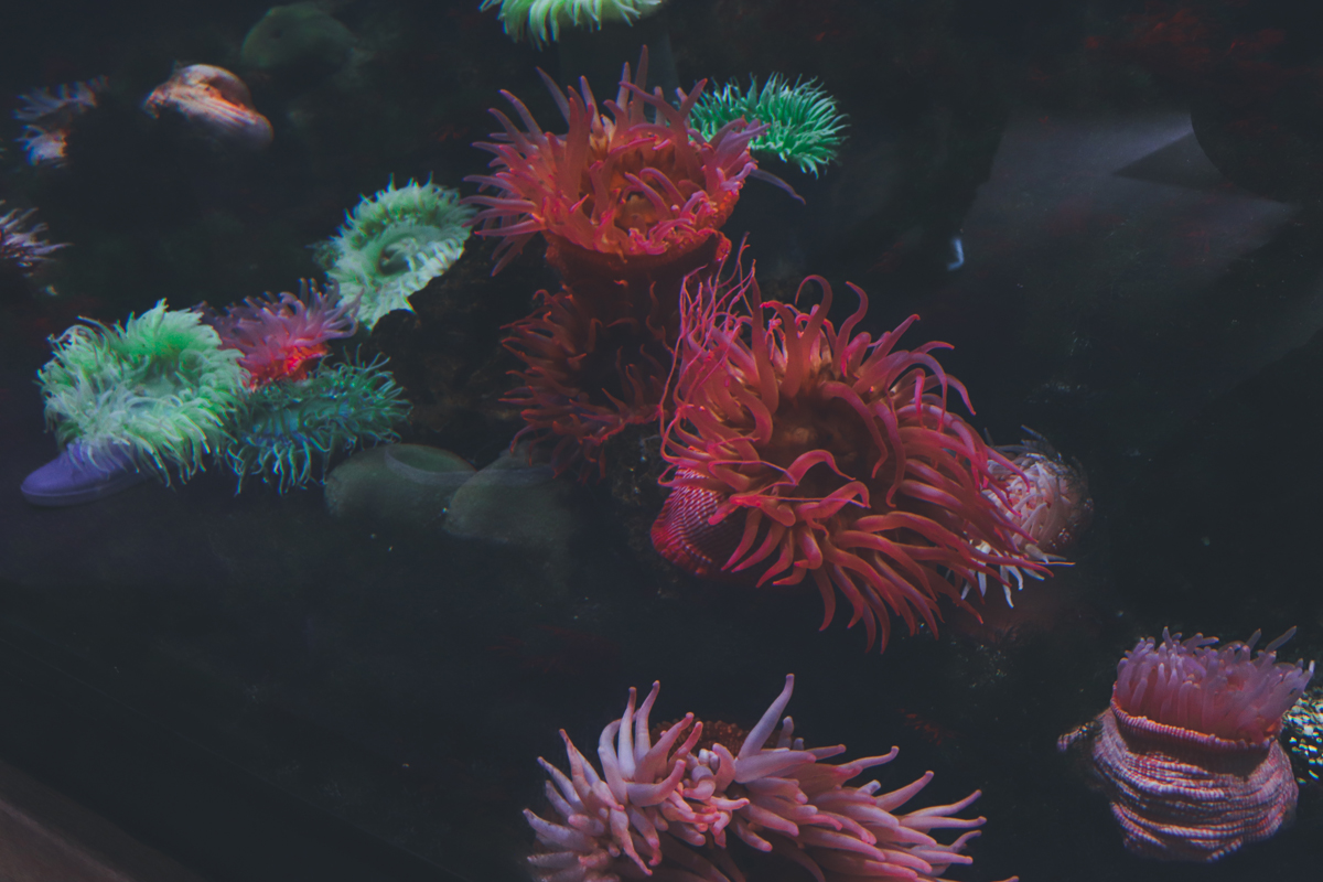 le-croisic-anemone
