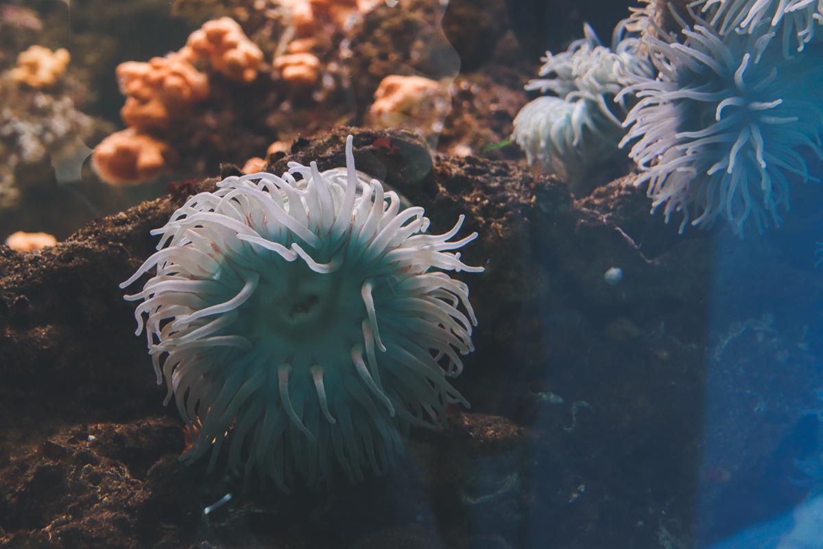 le-croisic-ocearium-anemone
