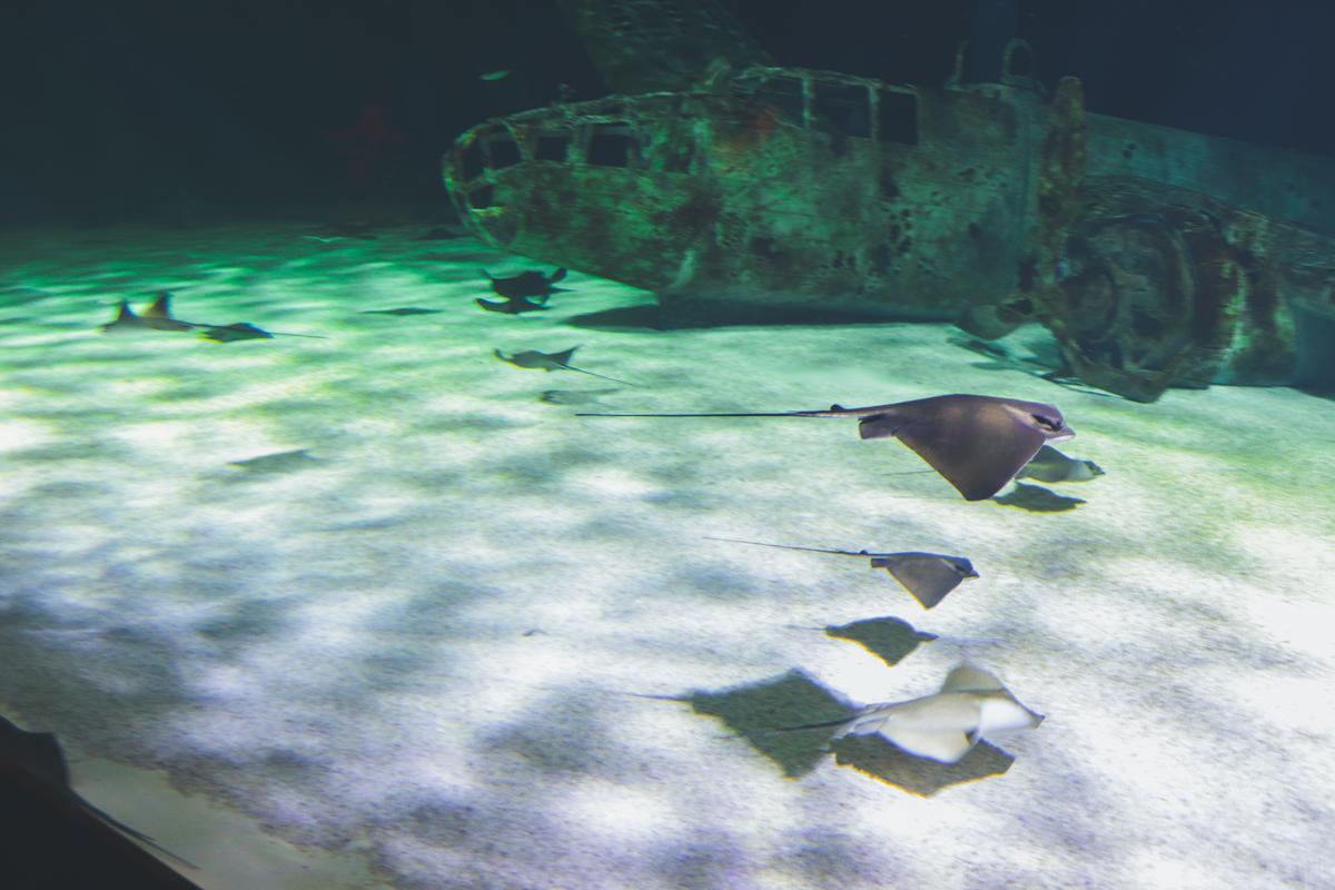 le-croisic-ocearium-raie