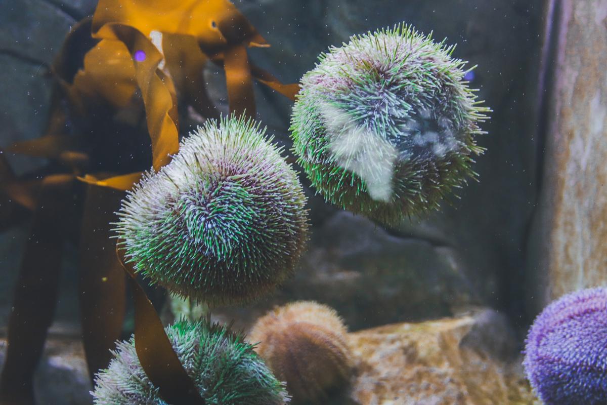 le-croisic-ocearium-oursin