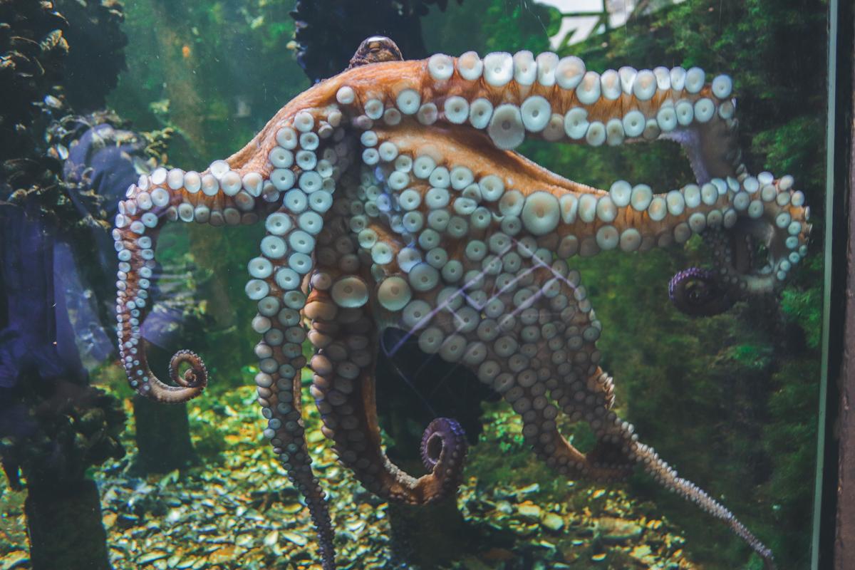 le-croisic-ocearium-poulpe